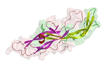 Cấu trúc của gonadotropin màng đệm ở người